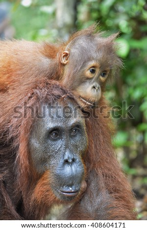 A female of the orangutan with a cub in a native habitat. Bornean orangutan (Pongo pygmaeus wurmmbii) in the wild nature. Rainforest of Island Borneo. Indonesia.  #408604171