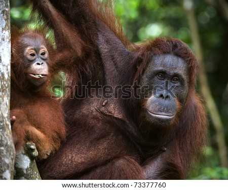 A female of the orangutan with a cub in a native habitat. Rain wood of Borneo.