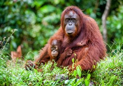 A female of the orangutan with a cub in a native habitat. Rainforest of Borneo.