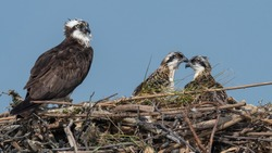 A female Osprey perched in its nest with her two nestling.
