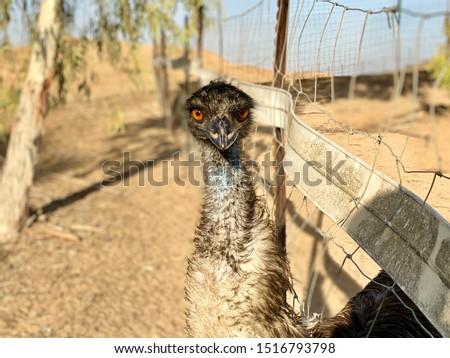 A female ostrich in the ostrich farm in the Israeli Negev #1516793798