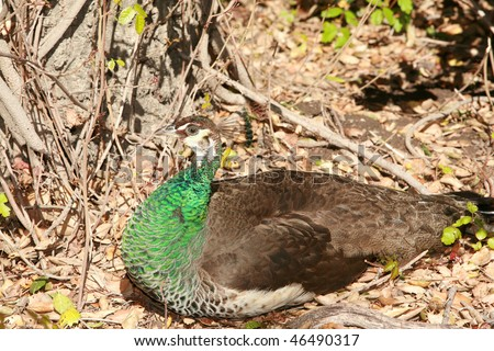 a female peacock aka a Peahen hides in some brush - stock photo