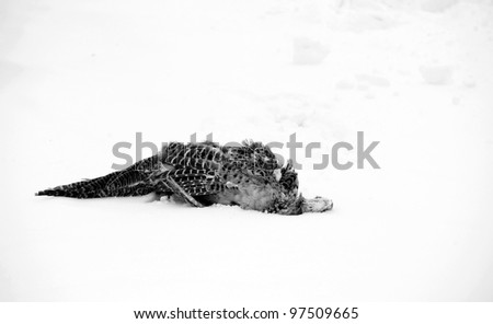 A female pheasant laying dead in the snow, desaturated.