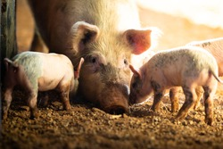 A female pig with her piglets on a remote cattle station in Northern Territory, Australia, at sunrise.