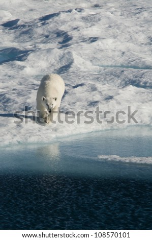 A female polar bear hunting seal on an ice floe in Nunavut, Canada.