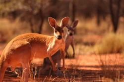 A female Red Kangaroo with her joey on the red sand of outback central Australia.