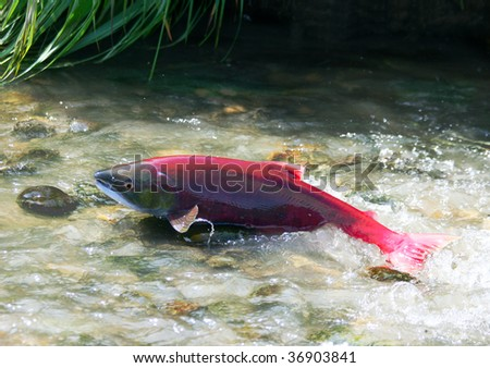 A female red salmon go to spawn