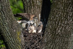 A female Red-tailed Hawk in her nest with nestlings.