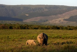 A female rhino / rhinoceros and her calf. Showing off her beautiful horn. Protecting her calf. South Africa