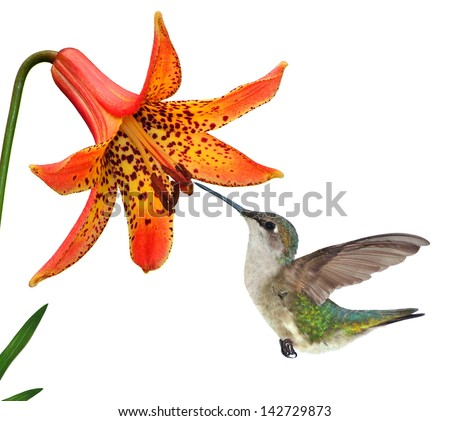 A female Ruby-throated Hummingbird (Archilochus colubris) at a wild Canada Lily isolated on a white background.