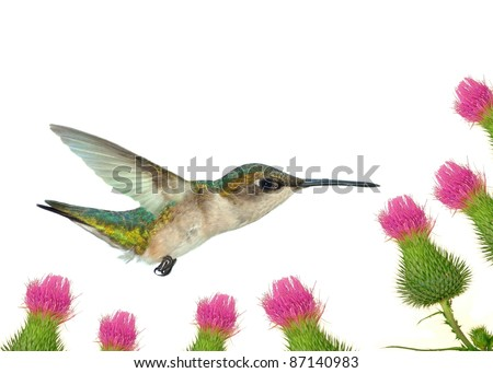 A Female Ruby- throated Hummingbird (Archilochus colubris) at Field Thistles.