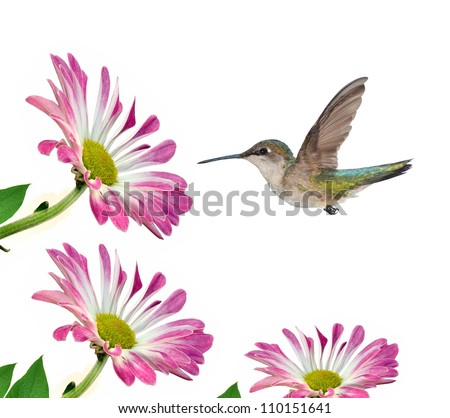A female Ruby- throated Hummingbird (Archilochus colubris) at pink chrysanthemums  isolated on a white background.
