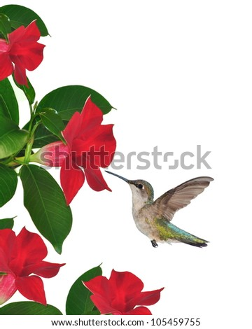 A female Ruby- throated Hummingbird (Archilochus colubris) at red mandevilla flowers isolated on a white background.
