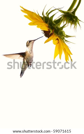 A female ruby throated hummingbird in motion approaching a beautiful sunflower head on a pale cream background with copy space.