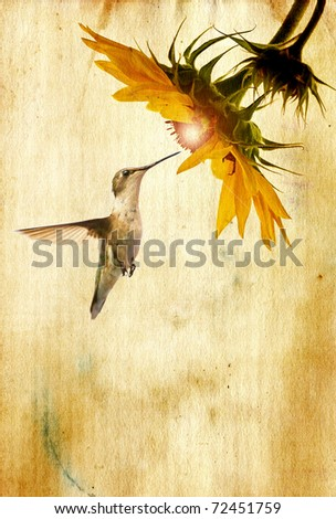 A female ruby throated hummingbird in motion approaching a beautiful sunflower head with a glowing center on vintage grunge paper.