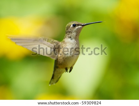 A female ruby throated hummingbird in motion in the garden.