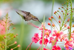 A female Ruby Topaz hummingbird feeding on Pride of Barbados flower. hummingbird in tropical garden. Small tropical bird. Bird with colorful flowers. Hovering hummingbird. Bird in natural surrounding