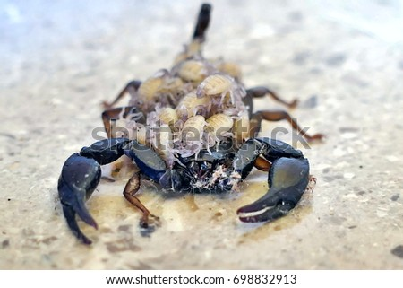 A female scorpion carrying its offspring on its back - front view #698832913