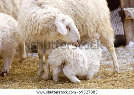 stock photo   a female sheep