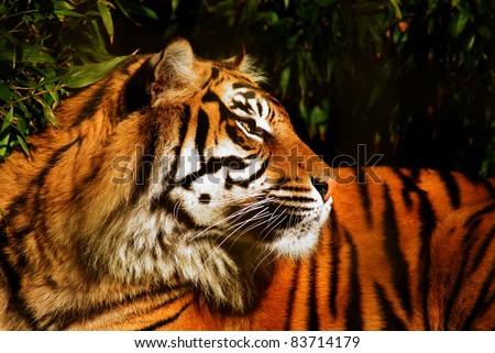 A female Siberian Tiger looking intently at something out of shot.  Latin: Panthera tigris altaica