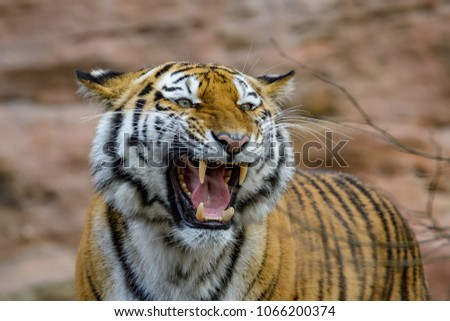 A female siberian tiger roaring while showing her fangs #1066200374