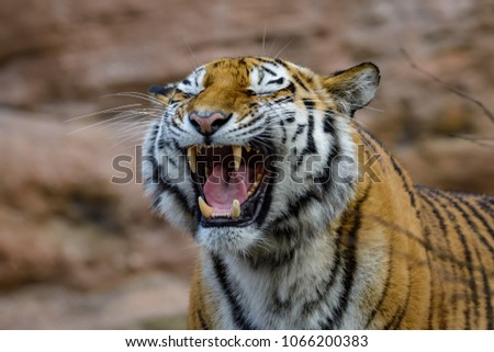 A female siberian tiger roaring while showing her fangs #1066200383