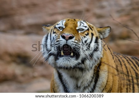 A female siberian tiger roaring while showing her fangs #1066200389