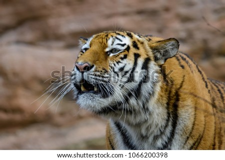 A female siberian tiger roaring while showing her fangs #1066200398