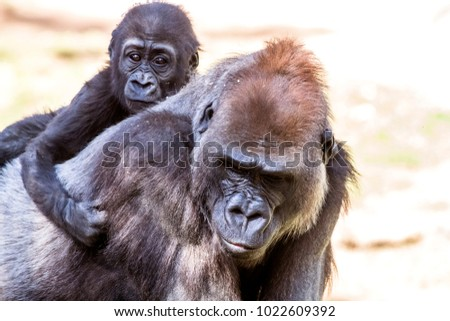 A female silverback gorilla with her young offspring shows the bond between mother and infant.  #1022609392