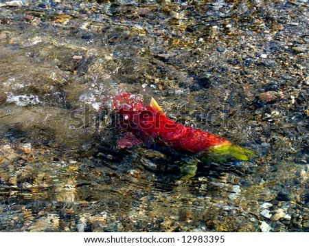 a female sockeye is spawning at Adams River