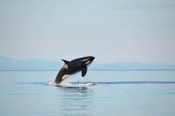 A female Southern Resident Killer Whale breaches in the calm blue waters of the Salish Sea between Washington State and British Columbia, Canada.