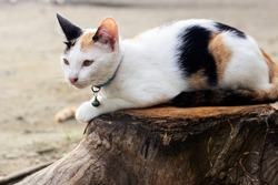 A female three-colored Thai cat, 5 months old, is sitting on a tree stump and his gaze is staring at something on the ground at the evening in Thailand.