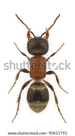 A female velvet ant, Myrmilla lezginica, isolated on a white background