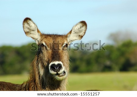 A female waterbuck head portrait chewing and watching other waterbucks in a game park in South Africa