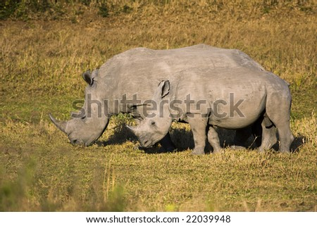A female white rhino and baby grazing. The white, or square-lipped, rhinoceros (ceratotherium simum) is one of the few megafauna species left, behind only the elephant in massive land animala.