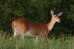 A Female White-Tailed Deer (Odocoileus Virginianus) Standing in the High Grass at a Local Golf Course
