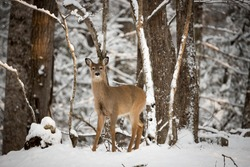 A female white tailed deer standing in the snow looking alertly at the camera. White Tailed deer are also known as Virginia Deer and are commonly found in North America.