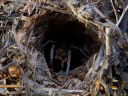 A female wolf spider in its burrow waiting for prey to pass. Lycosa tarantula