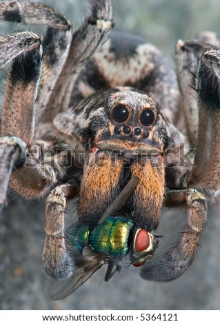 A female wolf spider is carrying a fly she caught.