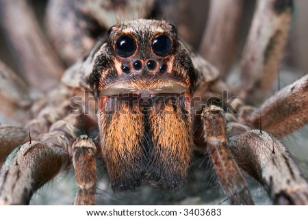 A female wolf spider is posing for a portrait.