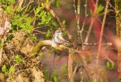 A female yellow rumped warbler is perched in a tree in Tawas Point State Park, East Tawas, Michigan.
