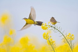 A female yellow wagtail perched with nest material in its beak on the blossom of a rapeseed field. With the male flying in front of her.
