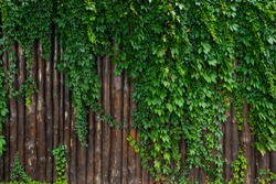 A fence of logs overgrown with green ivy