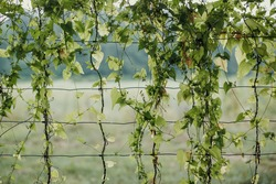A fence overgrown with ivy in nature