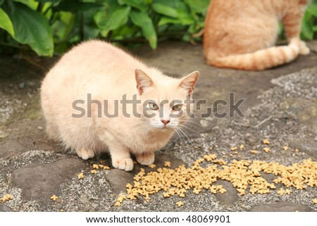 a Feral cat being fed on the island of Maui Hawaii