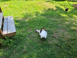 A feral cat eating cat treats in the grass.