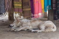 A feral dog sleeping in a traditional hill tribe village of the long neck woman or Paduang, part of the Karen tribe in northern Thailand.