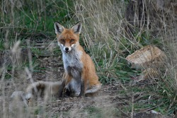 A feral European Red Fox looking forward.