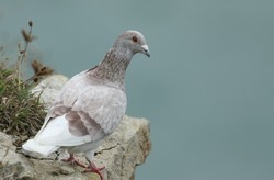 A Feral Pigeon, Columba livia domestica, standing on a ledge of a coastal cliff.