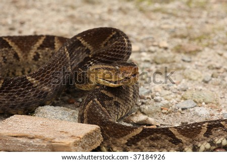 Ferdelance Snake On A Sandy Soil Ready To Strike Stock